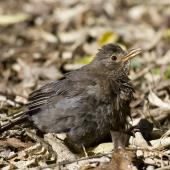 Eurasian blackbird. Female sunning. Lake Tarawera. Image © Phil Battley by Phil Battley Female sunning at bush edge.