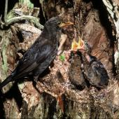 Eurasian blackbird. Adult female at nest containing large chicks. . Image © Department of Conservation (image ref: 10037652) by Dick Veitch, Department of Conservation Courtesy of Department of Conservation