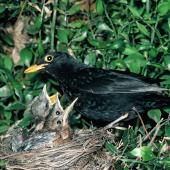 Eurasian blackbird. Adult male at nest containing chicks. . Image © Peter Reese by Peter Reese