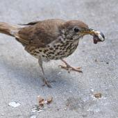Song thrush. Adult with a snail prepared to feed young. South Auckland, December 2014. Image © Marie-Louise Myburgh by Marie-Louise Myburgh
