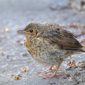 Song thrush. Fledgling waiting to be fed. South Auckland, December 2014. Image © Marie-Louise Myburgh by Marie-Louise Myburgh