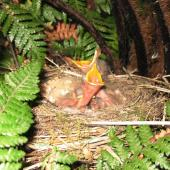 Song thrush. Nest with three young chicks. Waikato, October 2010. Image © Joke Baars by Joke Baars