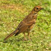 Song thrush. Immature. Wanganui, January 2010. Image © Ormond Torr by Ormond Torr