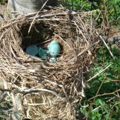 Song thrush. Nest in European beech, after a visit from a harrier. Waikato, September 2012. Image © Koos Baars by Koos Baars