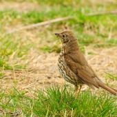 Song thrush. First-year bird, breeding (note pale marks on lesser wing coverts). Lake Ohau, October 2012. Image © Albert Aanensen by Albert Aanensen