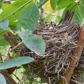 Song thrush. Adult on nest. Kerikeri, Northland, November 2011. Image © Neil Fitzgerald by Neil Fitzgerald www.neilfitzgeraldphoto.co.nz