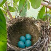 Song thrush. Nest with four eggs. Kerikeri, Northland, November 2011. Image © Neil Fitzgerald by Neil Fitzgerald Neil Fitzgerald: www.neilfitzgeraldphoto.co.nz