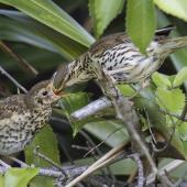 Song thrush. Adult feeding fledgling. Rangiora, January 2017. Image © Kathy Reid by Kathy Reid www.kathyreidphotography.com