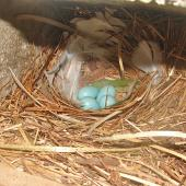Common starling. Nest with eggs and fresh (anti-parasite?) leaves brought by male. Belmont, Lower Hutt, October 2005. Image © John Flux by John Flux