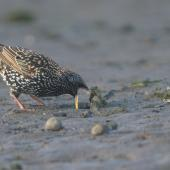 Common starling. Adult foraging on mudflat, with beak agape. Hutt estuary, June 2016. Image © George Curzon-Hobson by George Curzon-Hobson