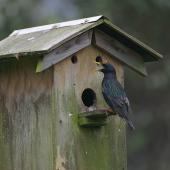 Common starling. Adult male at nest box. Hot Water Beach, Coromandel. Image © Noel Knight by Noel Knight