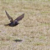 Common starling. Adult in flight. Little Waihi, March 2013. Image © Raewyn Adams by Raewyn Adams