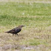 Common starling. Halfway to adult plumage with head still showing immature brown colour. Little Waihi, March 2013. Image © Raewyn Adams by Raewyn Adams