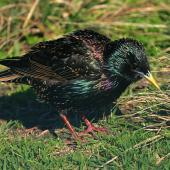 Common starling. Adult in breeding plumage. Wanganui, September 2009. Image © Ormond Torr by Ormond Torr