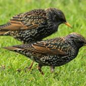 Common starling. Non-breeding plumage. Wanganui, July 2011. Image © Ormond Torr by Ormond Torr