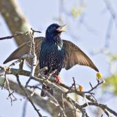 Common starling. Calling and signalling with outstretched wings. Te Puke, September 2011. Image © Raewyn Adams by Raewyn Adams