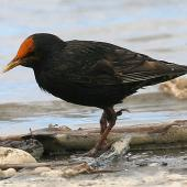 Common starling. Adult with orange flax pollen on forehead. Wanganui, December 2007. Image © Ormond Torr by Ormond Torr
