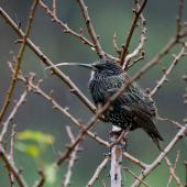 Common starling. Adult with excessively long bill. Dunedin, May 2021. Image © David Steer by David Steer