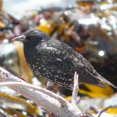 Common starling. Adult in non-breeding plumage showing 'stars'. Kaikoura Peninsula, February 2013. Image © Alan Tennyson by Alan Tennyson