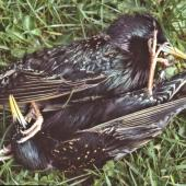 Common starling. Adult males fighting to the death. Lower Hutt, October 1986. Image © John Flux by John Flux