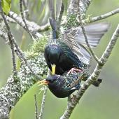 Common starling. Pair mating. South Auckland, October 2014. Image © Marie-Louise Myburgh by Marie-Louise Myburgh