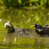 Common starling. Bathing with sparrow. Auckland. Image © Eugene Polkan by Eugene Polkan