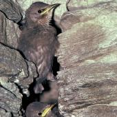 Common starling. Fledglings exiting nest in stone wall. Kawarau Gorge, Central Otago, January 1985. Image © Department of Conservation (image ref: 10034158) by Rod Morris, Department of Conservation Courtesy of Department of Conservation