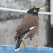Common myna. Adult. Rarotonga, July 2010. Image © Alan Tennyson by Alan Tennyson