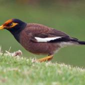 Common myna. Adult with orange flax pollen on forehead. Whakatane, January 2009. Image © Duncan Watson by Duncan Watson