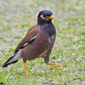 Common myna. Adult. Mount Maunganui, March 2012. Image © Raewyn Adams by Raewyn Adams