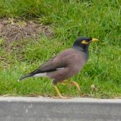 Common myna. Adult walking. Waiheke Island, October 2012. Image © Alan Tennyson by Alan Tennyson