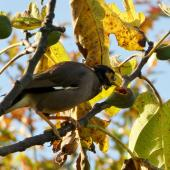 Common myna. Adult feeding on a ripe fig. Waikato, May 2018. Image © Joke Baars by Joke Baars
