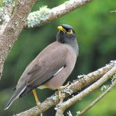 Common myna. Adult showing dark and light brown contrast in plumage. Warkworth, November 2012. Image © Thomas Musson by Thomas Musson tomandelaine@xtra.co.nz