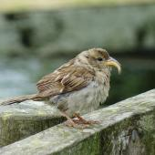 House sparrow. Adult female with deformed bill. Ambury Regional Park, Auckland, January 2016. Image © Jacqui Geux by Jacqui Geux