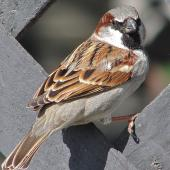 House sparrow. Adult male in breeding plumage showing back. Near Twizel, January 2007. Image © John Flux by John Flux