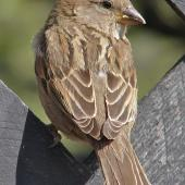 House sparrow. Adult female showing feather details. Near Twizel, January 2007. Image © John Flux by John Flux