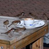 House sparrow. Group of adults feeding at picnic table. Auckland, July 2009. Image © Peter Reese by Peter Reese