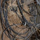 House sparrow. Nest in coil of wire. Canterbury, December 2008. Image © Peter Reese by Peter Reese