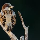 House sparrow. Adult male. Shakespear Regional Park, June 2016. Image © John and Melody Anderson, Wayfarer International Ltd by John and Melody Anderson Love our Birds®| www.wayfarerimages.co.nz