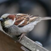 House sparrow. Adult male. Auckland Domain, November 2010. Image © Philip Griffin by Philip Griffin