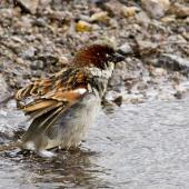 House sparrow. Adult male bathing. Tauranga, September 2012. Image © Raewyn Adams by Raewyn Adams