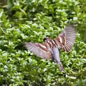 House sparrow. Dorsal view of adult male in flight. Hamurana Springs, October 2012. Image © Raewyn Adams by Raewyn Adams