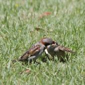 House sparrow. Adult male feeding juvenile. Mount Maunganui, December 2012. Image © Raewyn Adams by Raewyn Adams