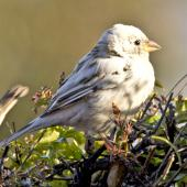 House sparrow. Partially leucistic adult. Atawhai,  Nelson, July 2015. Image © Rebecca Bowater by Rebecca Bowater FPSNZ AFIAP www.floraandfauna.co.nz