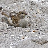 House sparrow. Juvenile dust bathing. Mount Maunganui, March 2012. Image © Raewyn Adams by Raewyn Adams