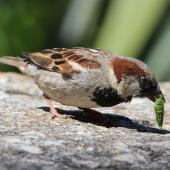 House sparrow. Adult male eating a small cicada. outside Te Papa, January 2014. Image © Robert Hanbury-Sparrow by Robert Hanbury-Sparrow
