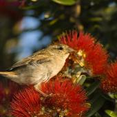 House sparrow. Fledgling feeding on pohutukawa. Auckland. Image © Eugene Polkan by Eugene Polkan