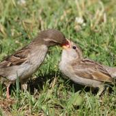 House sparrow. Female feeding newly-fledged juvenile. Lake Tarawera, December 2008. Image © Phil Battley by Phil Battley