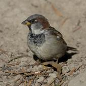 House sparrow. Adult male in fresh plumage showing long tips to bib feathers. Palmerston North, March 2008. Image © Phil Battley by Phil Battley