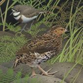 New Zealand quail. New Zealand quail (Coturnix novaezelandiae). Image 2006-0010-1/38 from the series 'Extinct birds of New Zealand'. Masterton. Image © Purchased 2006. © Te Papa by Paul Martinson See Te Papa website: http://collections.tepapa.govt.nz/objectdetails.aspx?irn=710940&term=new+zealand+quail